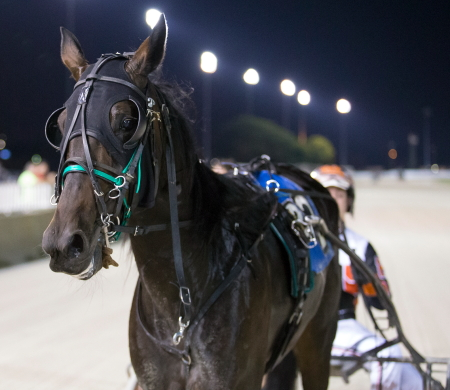 The Steve Searle stable's 3-year-old ICF trotting filly Trotting Grace goes to the gate tonight at Hoosier Park in a division of the Circle City stake (Four Footed Fotos)
