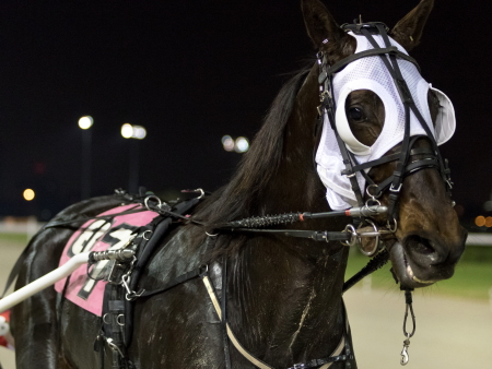 Here's a close-up view of Illinois champion pacer Fox Valley Gemini. The now 4-year-old pacer goes postward in tonight's seventh race $12,000 Open.(Four Footed Fotos)
