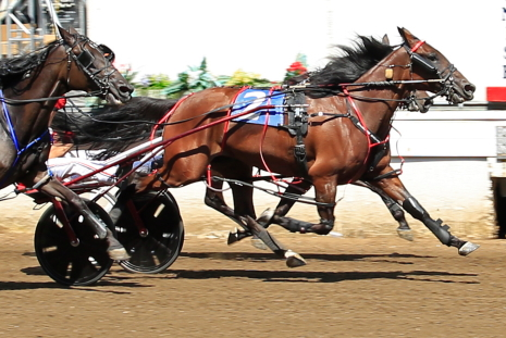 Boogie In Down, fresh off her ICF aged pacing mare champion win at Springfield, goes postward in tonight's distaff Open Pace this time with Casey Leonard driving. (Four Footed Fotos)